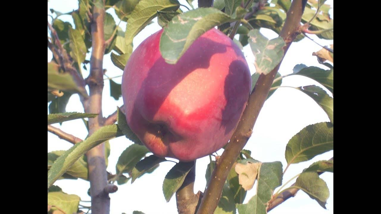 Яблоня старкримсон: описание сорта, фото, особенности ухода