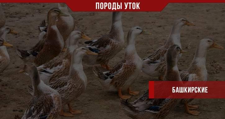 Утки башкирские: описание породы, особенности содержания, ухода и кормления