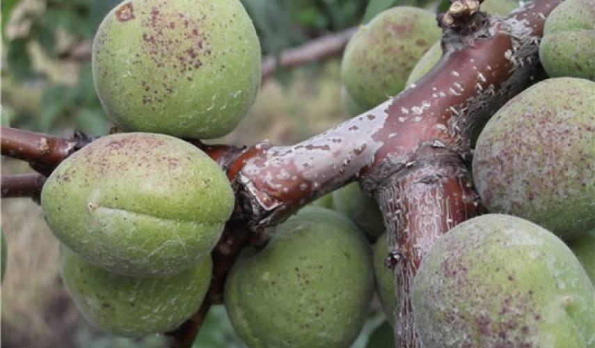 Болезни абрикосовых деревьев и их лечение: правильная борьба с болезнями абрикоса фото