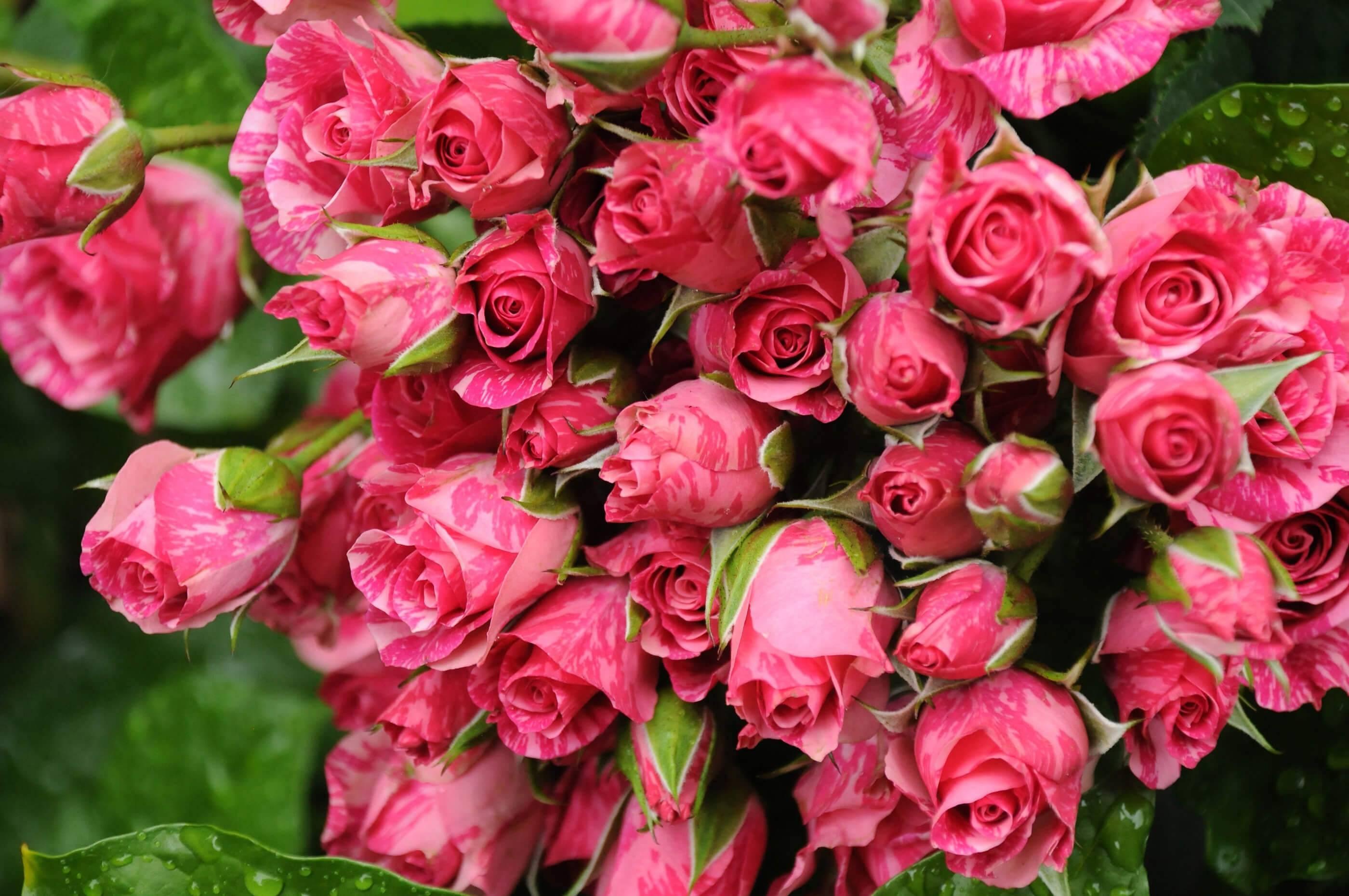 Выращивание корейских хризантем