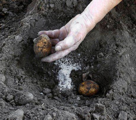 Удобрения для картофеля при посадке в лунку: что и как нужно вносить в землю весной, а также какие подкормки потребуются по окончании времени посевных работ?