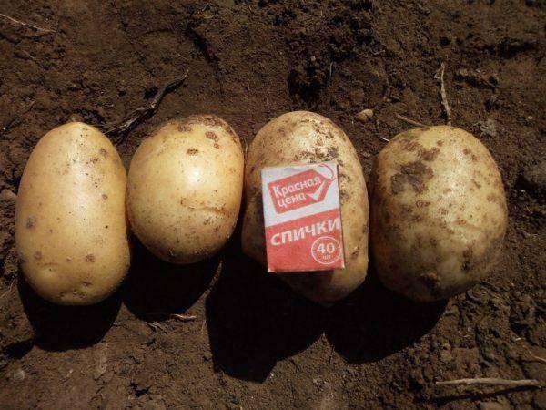 Картофель аризона описание сорта фото отзывы