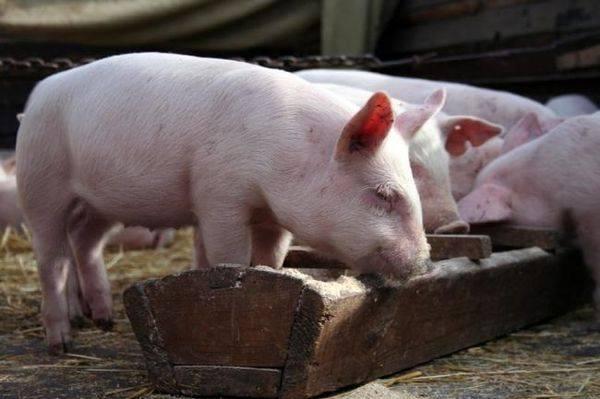 Откорм свиней: рекомендации, нормы и рационы |  ветеринарная служба владимирской области