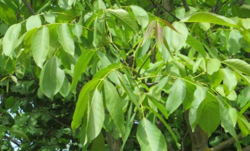 Полезные свойства листьев черного ореха