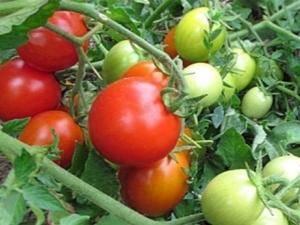 Описание томатов сорта «ирина»: особенности выращивания