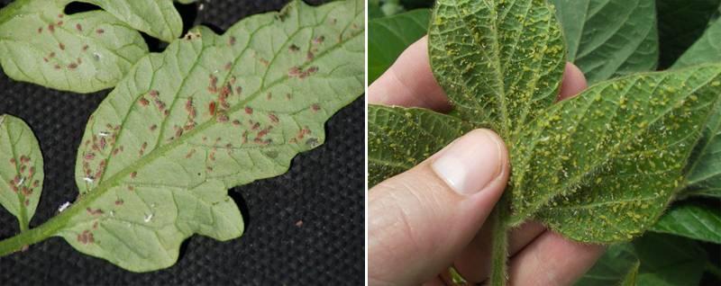Болезни и вредители рассады томатов и борьба с ними фото