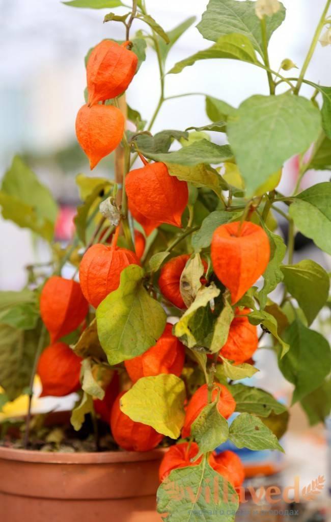 Физалис выращивание и уход размножение рецепты на зиму