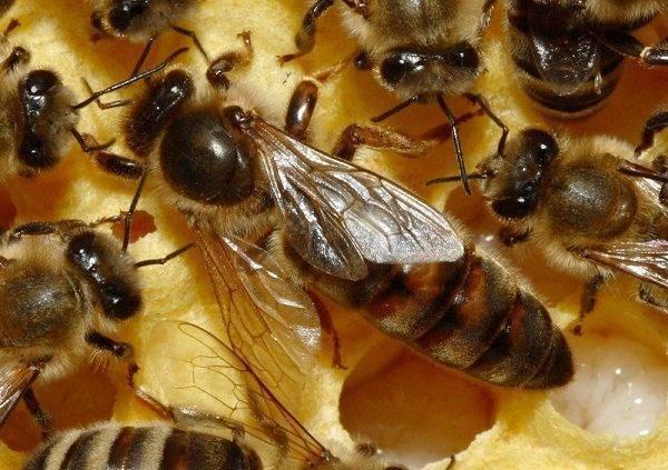 Какие функции пчелиной матки в улье