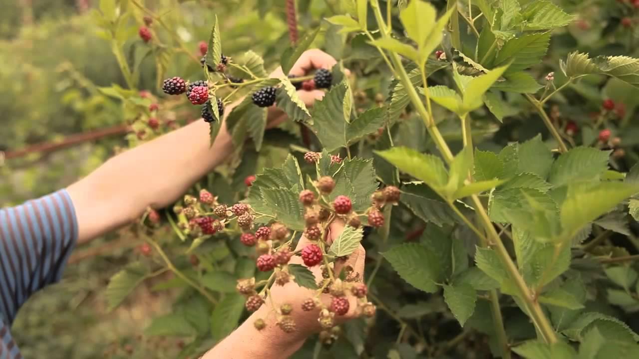 Характеристика и особенности выращивания ежевики осейдж