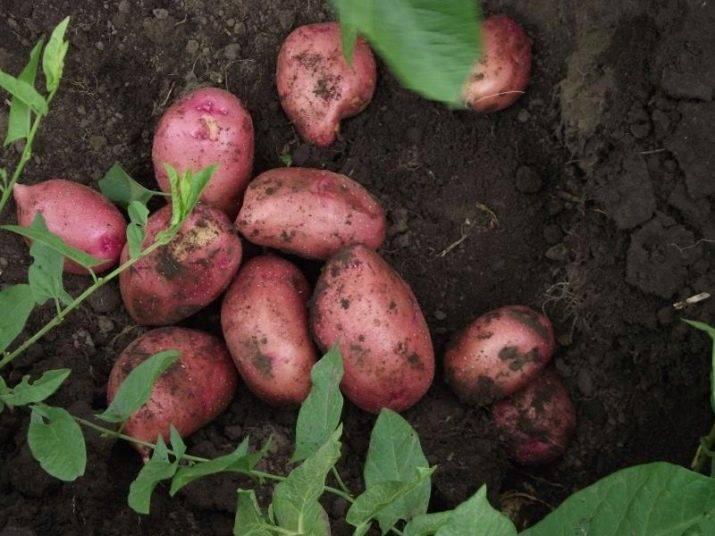 Сорт беллароза — краснокожая картошка с выдающимися качествами