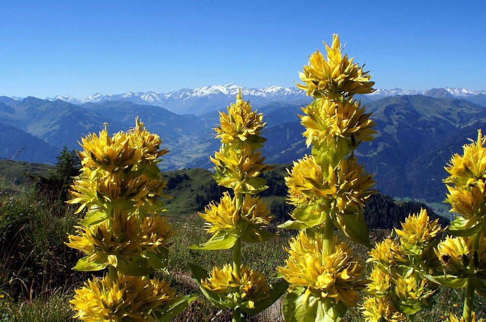 Горечавка или гентиана (gentiana): описание цветов и методики выращивания