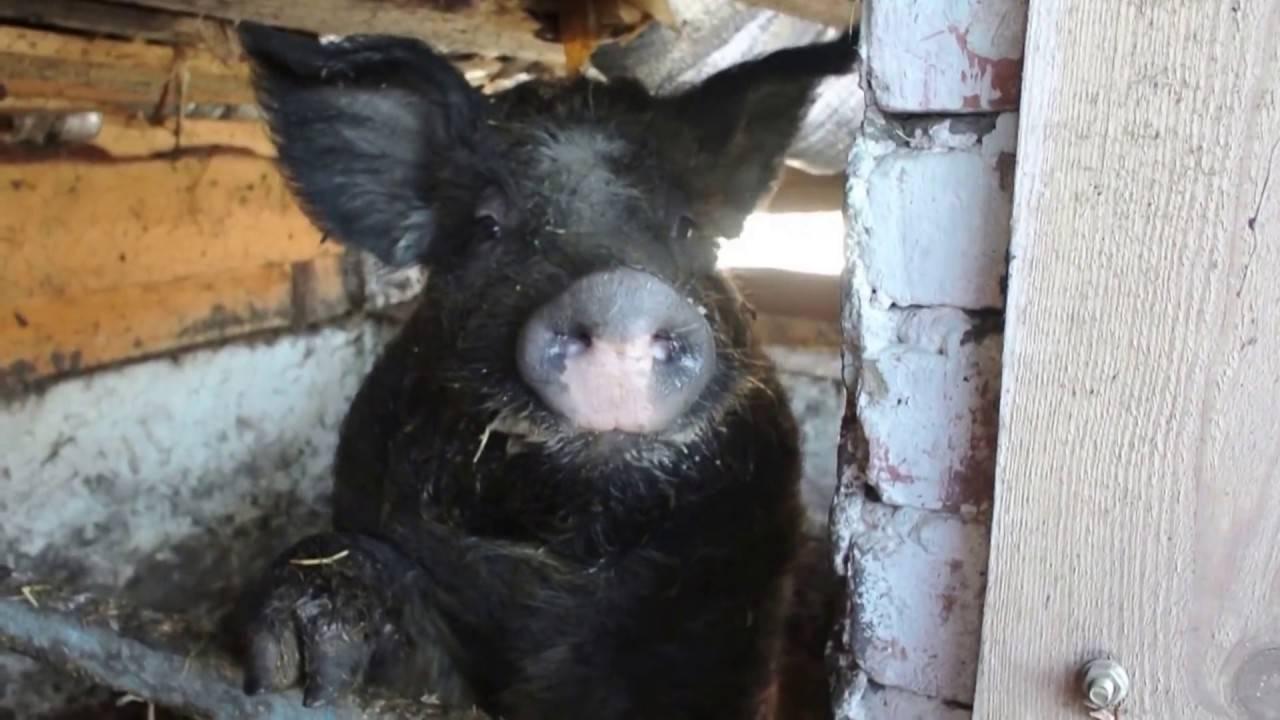 Свиньи мангал: условия содержания и перспективы разведения
