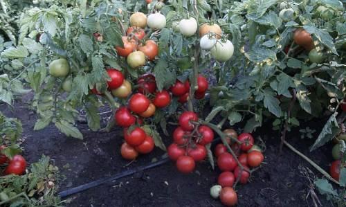 Индетерминантные томаты - это... определение, сорта, формирование и уход