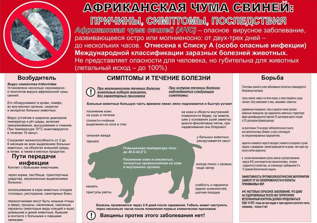 Признаки и профилактические меры африканской свиной чумы