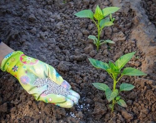 Подкормка перцев в теплице от высадки до сбора урожая