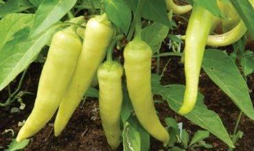 Обладающий бесподобным вкусом и декоративными свойствами — перец сладкий яркие лучи: отзывы и описание