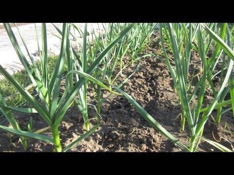 Чем подкормить чеснок весной, посаженный под зиму для хорошего урожая