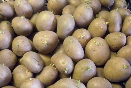 Картофель скарб - описание сорта, характеристика, особенности выращивания, отзывы + фото