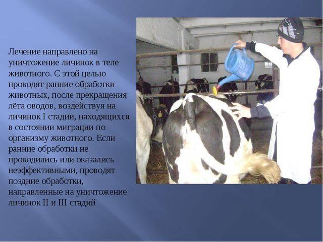 Профилактика и меры борьбы с гиподерматозом крупного рогатого скота