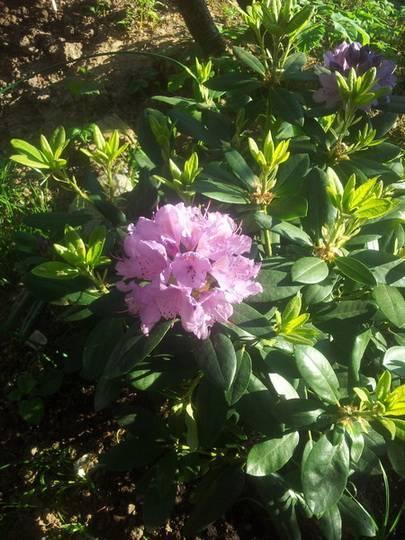 Подкормка рододендронов в августе: виды удобрений, уход за растениями