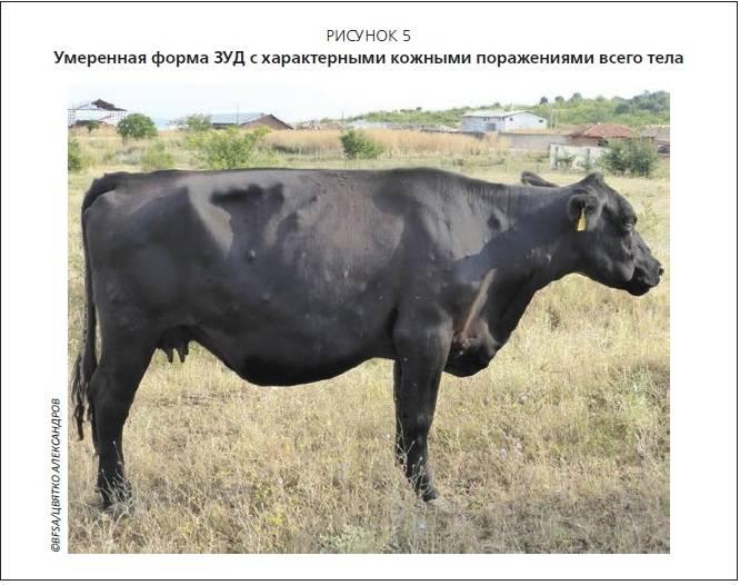 Мастит у коров