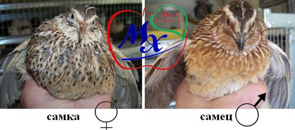 Породы перепелов: фото и описание, различия самцов и самок