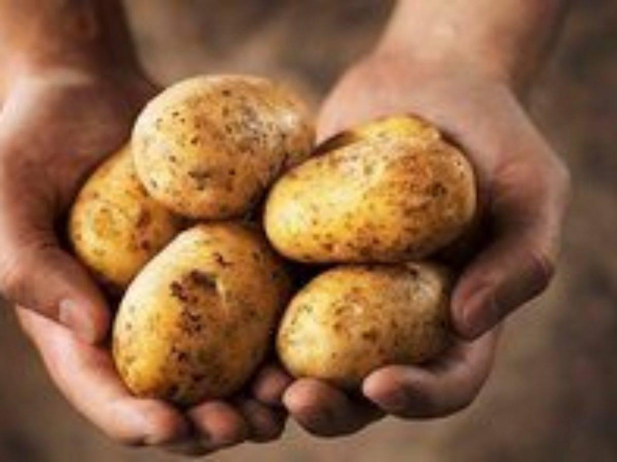 Картофель янка: описание и характеристика, отзывы