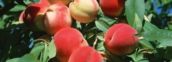 Как выращивать персик из косточки в домашних условиях