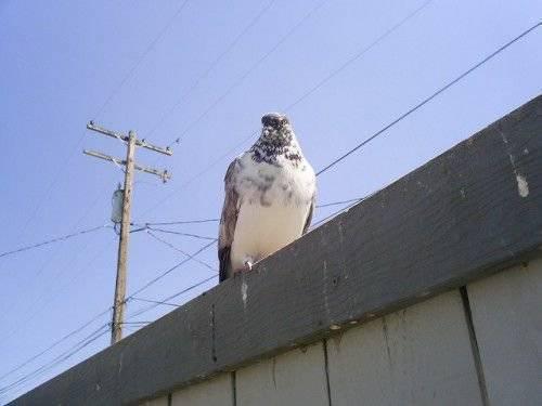 Иранские бойные голуби - энциклопедия владельца птицы