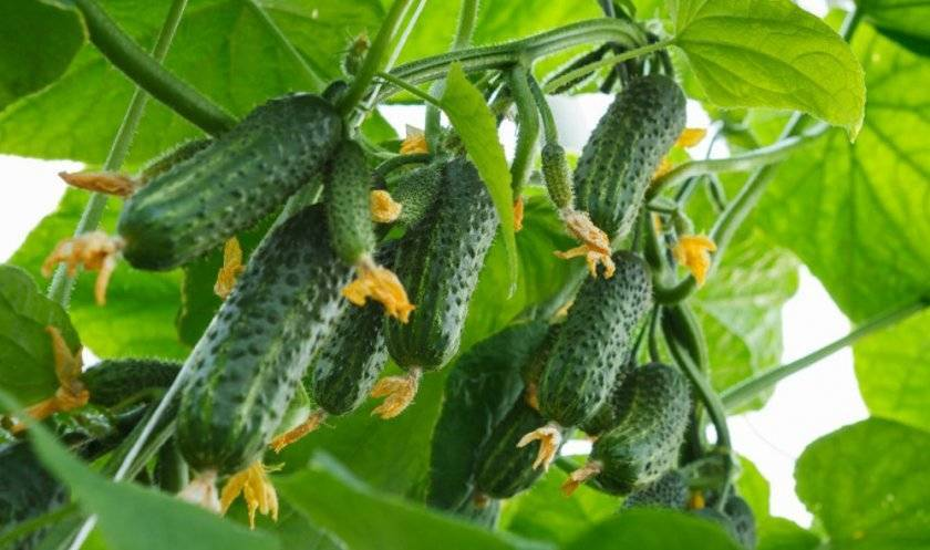 Как продлить плодоношение огурцов?