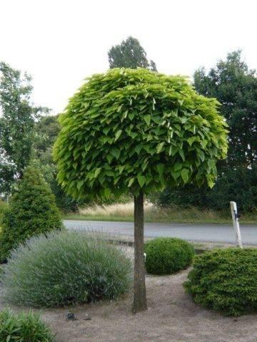 Дерево катальпа: посадка и уход, описание сортов с фото, размножение и обрезка