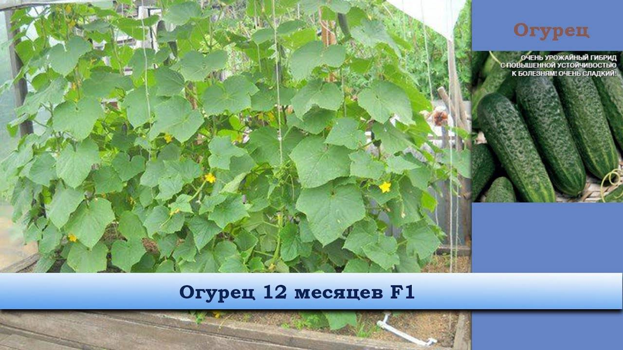 Сорт огурцов фурор: характеристика, выращивание и уход