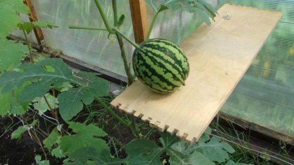 Выращивание арбузов в теплице: посадка и уход, плюсы и минусы, особенности сбора урожая