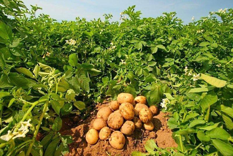 Какие удобрения вносить при посадке картофеля в лунки