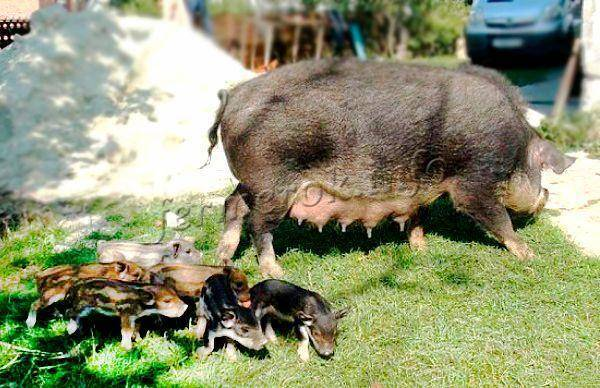 Порода свиней кармал: описание, особенности содержания, ухода и кормления
