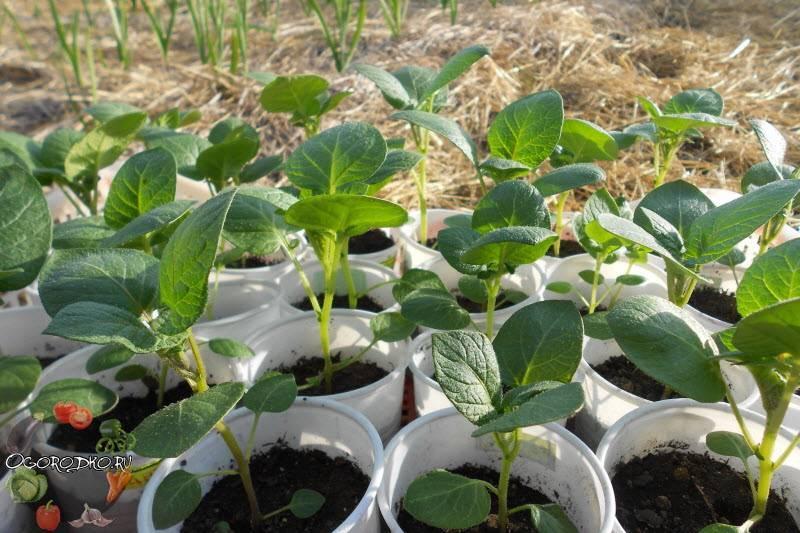 Выращивание голубики из семян в домашних условиях: как посадить, как прорастить, как вырастить
