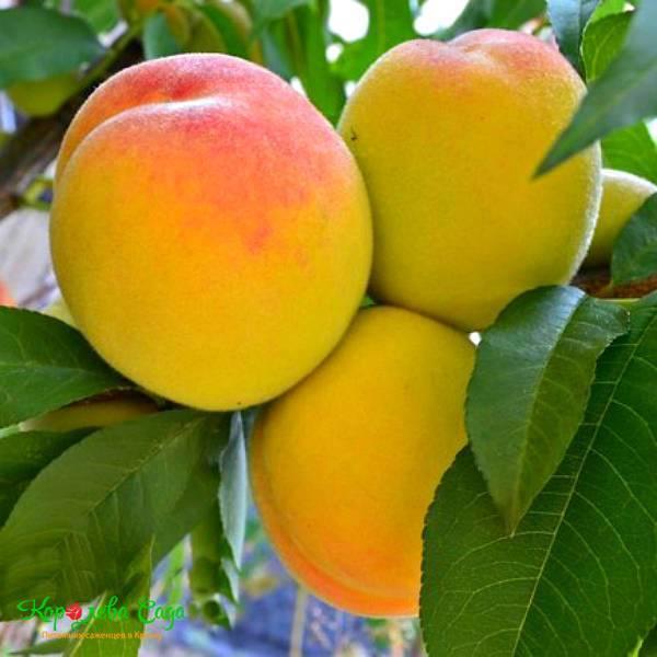 Особенности сорта персика золотой юбилей