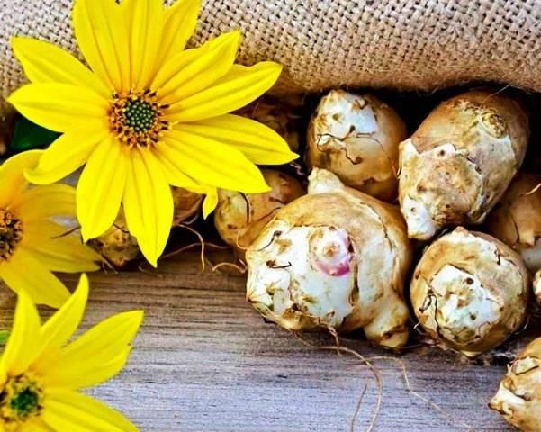 Когда выкапывать клубни топинамбура: в какое время созревает урожай и собирают его для еды, можно ли это делать весной, а также как хранить земляную грушу?