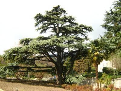 Сибирская кедровая сосна и кедр – это одно и то же растение?