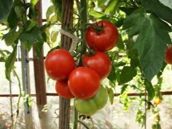 Ососбенности помидоров «махитос f1» — описание и характеристики