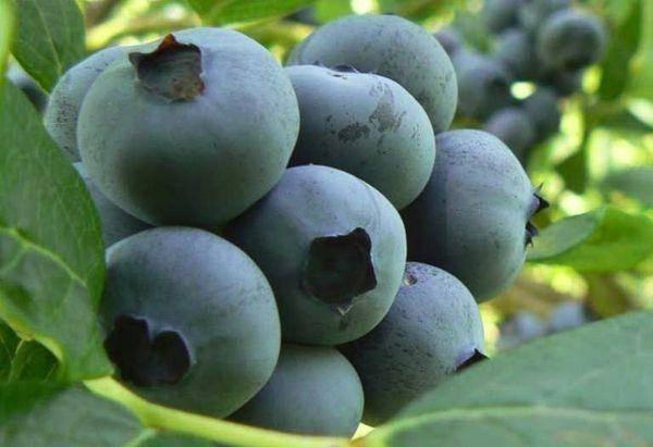 Голубика спартан: описание и характеристики сорта, правила выращивания