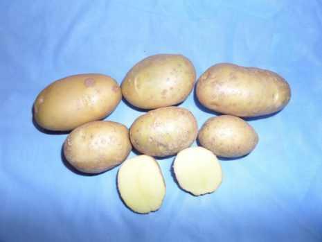 Картофель сорта уладар: описание и особенности выращивания