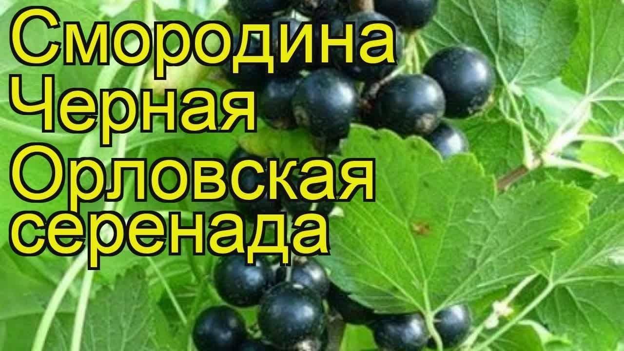 Смородина черная Орловская серенада: отзывы, посадка и уход