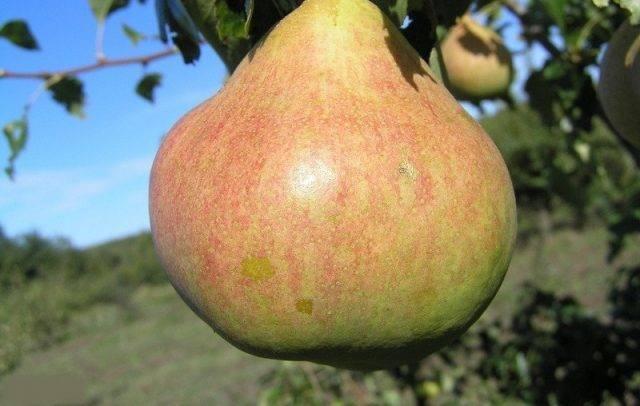 Сорта груш для подмосковья, в том числе самоплодные, какие хорошие лучше посадить + отзывы