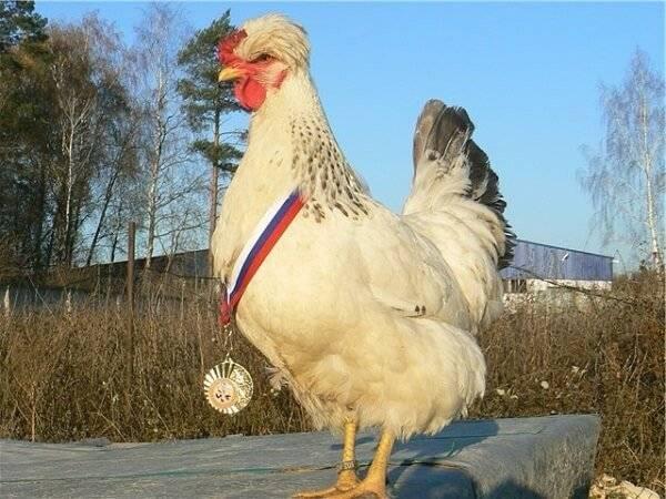 Описание русской хохлатой породы кур