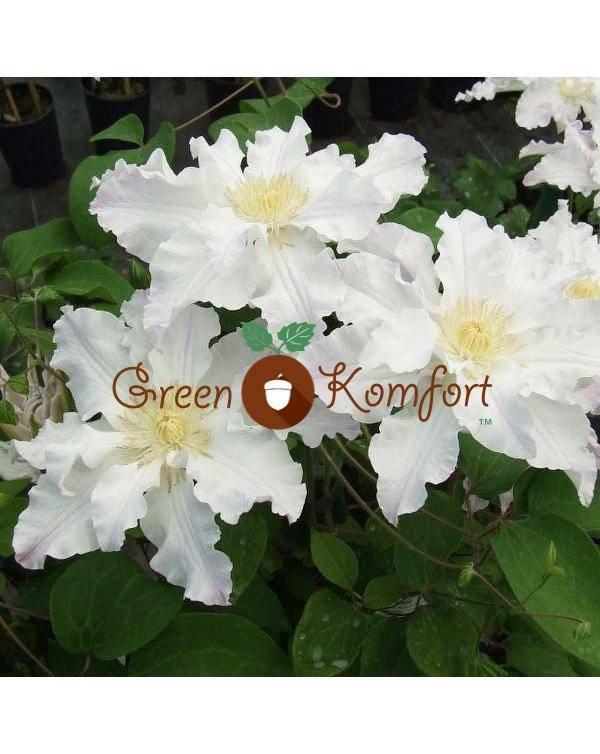 Скайфолл: сорт гортензии метельчатой, описание, посадка и уход, выращивание