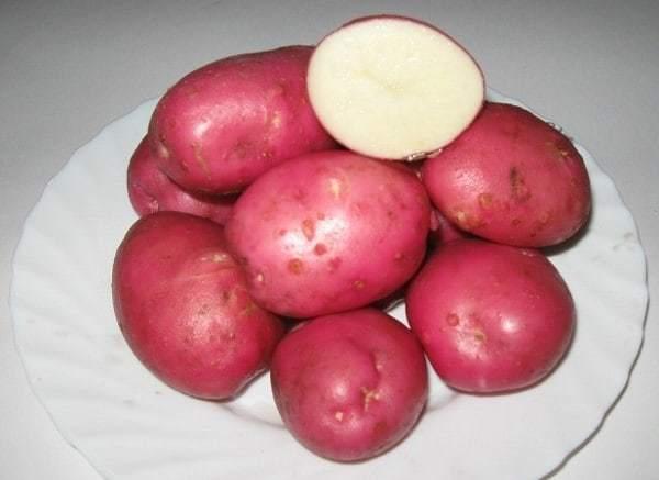 Картофель рокко: описание и характеристики сорта, отзывы садоводов, посадка и уход