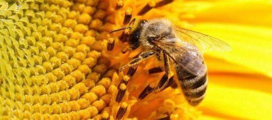 Пчелиный подмор для суставов и позвоночника