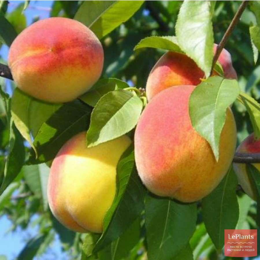 Особенности выращивания персика сорта редхейвен