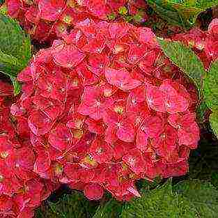 Гортензия крупнолистная — фаворитка красной дорожки в саду